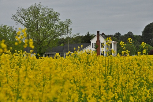 Farmhouse in a Field of Yellow Flowers Brassica Rapeseed Rape Lavonia Ga Franklin County Photograph Copyright Brian Brown Vanishing North Georgia USA 2014