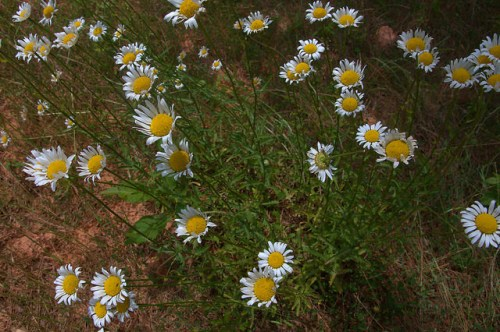 Oxeye Daisies Roadside Wildflowers Chrysanthemum leucanthemum vulgare Highway 17 Wilkes County GA Photograph Copyright Brian Brown Vanishing North Georgia USA 2015