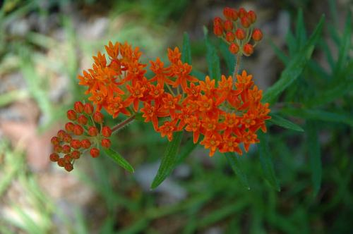Milkweed Asclepias tuberosa McDuffie County GA Photograph Copyright Brian Brown Vanishing North Georgia USA 2015