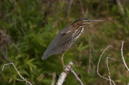 upson-county-ga-flint-river-green-heron-photograph-copyright-brian-brown-vanishing-north-georgia-usa-2016